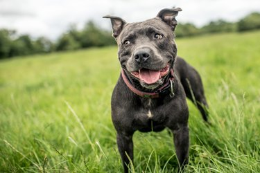 Staffordshire Bull Terrier standing in a green field, United Kingdom, Europe