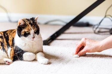 Calico cat guilty face funny humor on carpet inside indoor house home with hairball vomit stain and woman owner cleaning rubbing paper towel on floor