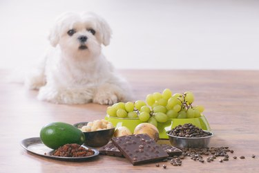 dog with grapes in front of him