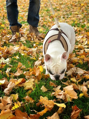 Dog walking in the Autumn