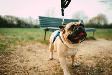 A bullfrench bulldog is walking in the park