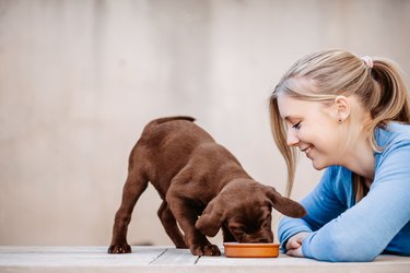 Teenager girl looking to her eating brown labrador puppy