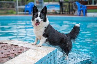 Corgi dog playing by the pool