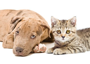 Portrait of a pitbull puppy and kitten Scottish Straight, lying together