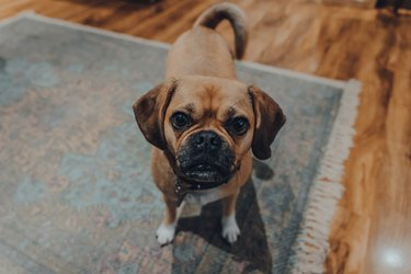 Portrait of a puggle sitting on a floor, looking at the camera.