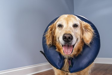 Golden Retriever wearing inflatable E-Collar looking at the camera