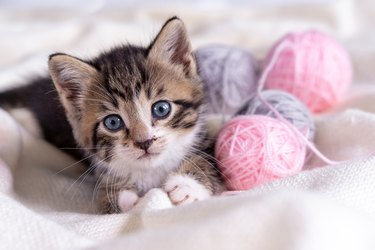 Striped cat playing with pink and grey balls skeins of thread on white bed. Little curious kitten lying over white blanket looking at camera