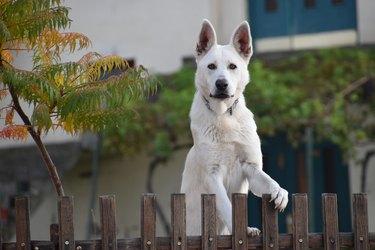 White dog peeking over a fence