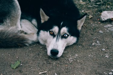 Husky with different eyes