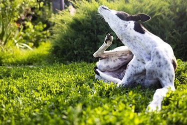 Greyhound scratches body from fleas on a green lawn outdoors in a park on a sunny day.