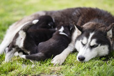 Small puppies nursing lying on the green grass