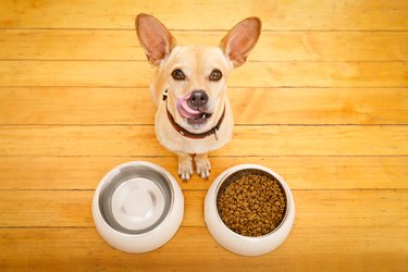 Above shot of a yellow Chihuahua and food and water bowls