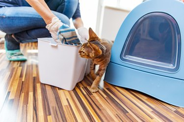 Curious Devon Rex Cat Watching Owner Cleaning Garbage Bin for Cat Litter - stock photo