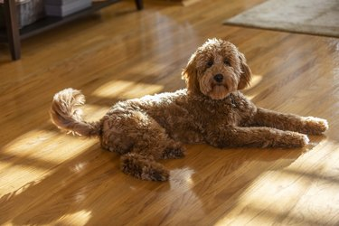Goldendoodle Puppy Portrait in a Living Room