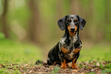 black marble dachshund against the background of a blurry summer or spring forest close up look at the camera. dog sits on a path in the forest among green grass. National Dog Day