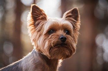 close up Portrait of Yorkshire Terrier dog