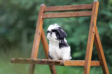 Black and white Shih Tzu puppy sitting on a chair outside