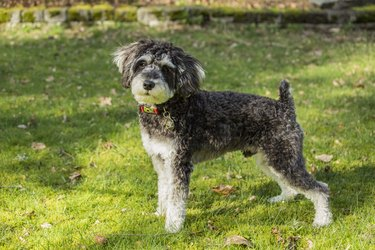 Schnoodle (Canis Familiaris) puppy standing on grass, Issaquah, Washington State, USA