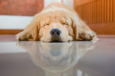 Sleeping Dog (Golden Retriever)