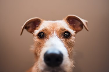 Close-Up Portrait Of Dog Against Brown Background