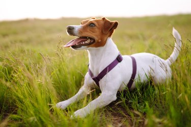 Jack russell terrier playing in fresh green grass on sunny day.