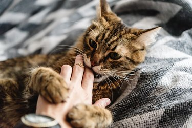 beautiful cute cat playing with woman hand and biting on stylish bed with funny emotions