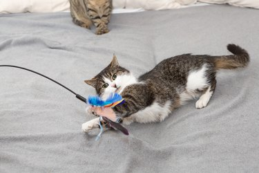 cat plays with feather  toy