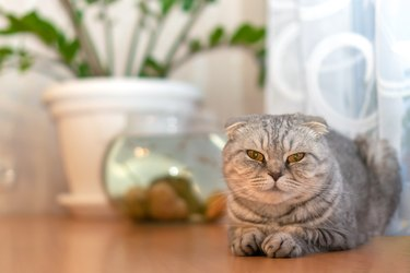 Beautiful grey Scottish fold cat sits on a table close-up with copy space, in the background a houseplant and an aquarium with fish