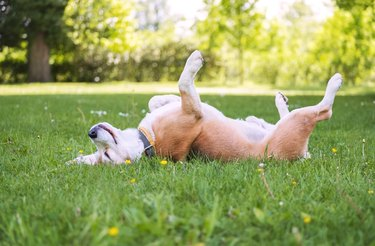 Dog lying paws up on green grass