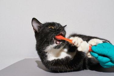 Black cat holding animal toothbrush