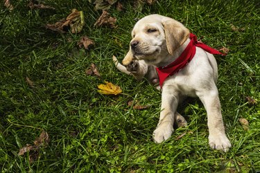 Yellow Labrador puppy scratching outside in grass