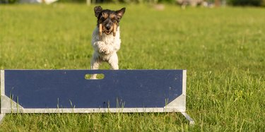 Cute Small Jack Russell Terrier dog is jumping fast over a hurdle. Dog is holding a dumbbells in the catch
