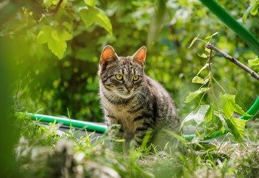 Little tabby cat hunting in the garden