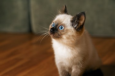 Kitty cat with blue eyes, Balinese cat