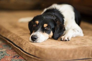 Sleepy black and white dog