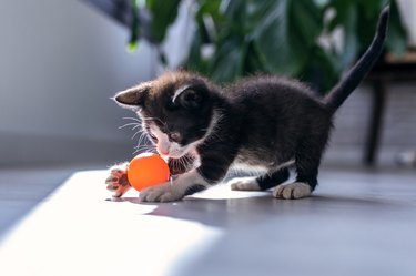 Little black kitten playing and enjoys with orange ball at living room of house.