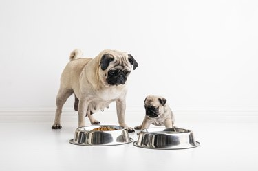 A six week old purebred pug puppy and it´s pug mother, in front of their water and food bowls.