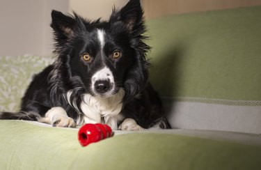 An adorable border collie puppy with his game on the couch