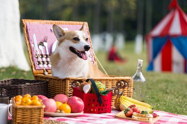 Corgi dog in a picnic basket surrounded by food