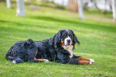 A Bernese mountain dog on the grass