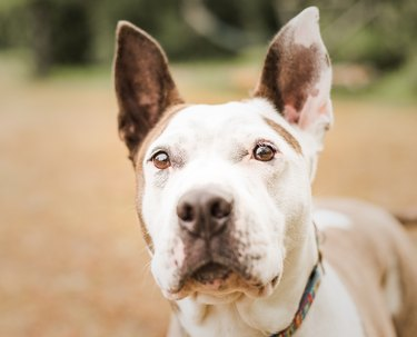 Sweet brown and white pitbull or Pit Bull type dog looking at the camera with perked ears at her foster home