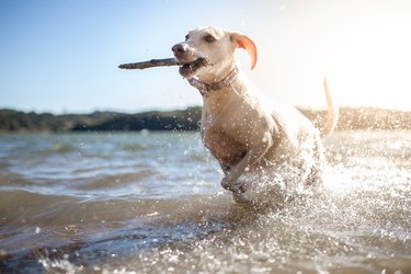 Dog playing with stick in water
