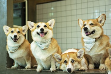 Group adorable pembroke welsh corgi puppy looking at owner while sitting together at home. Five friendly fluffy active brown corgi dog obedience waiting on the floor.