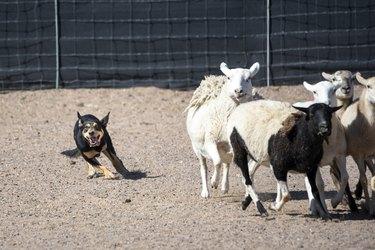 Black and tan Kelpie dog herding sheep