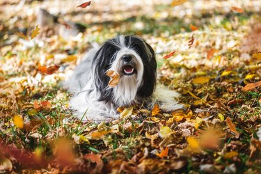 Tibetan terrier dog playing in a bed of leaves and  looking at the camera. Autumn season