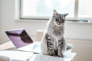 Fluffy Domestic Cat Sitting On A Desk Full Of Notes