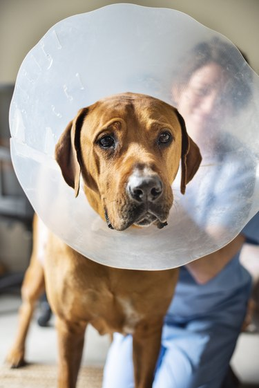 Sad dog wearing a protective collar around his neck in a vet's office
