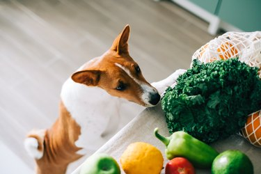 Curious Basenji dog puppy climbs on the table with fresh vegetables at home in the kitchen.