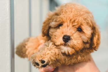 Brown Puppy Poodle Dog Pet