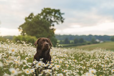 Chocolate Labrador in field of daisies at sunset